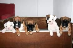 cuccioli 45 giorni